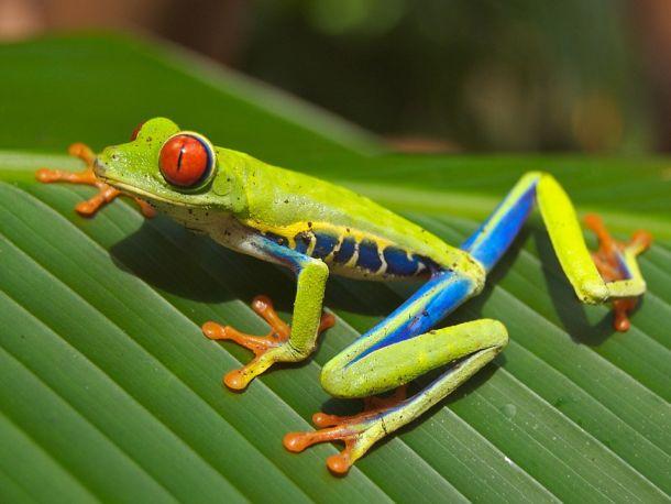 žaba gatalinka