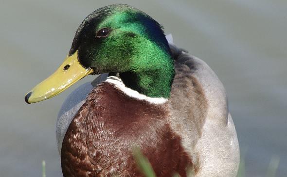 Divlja patka