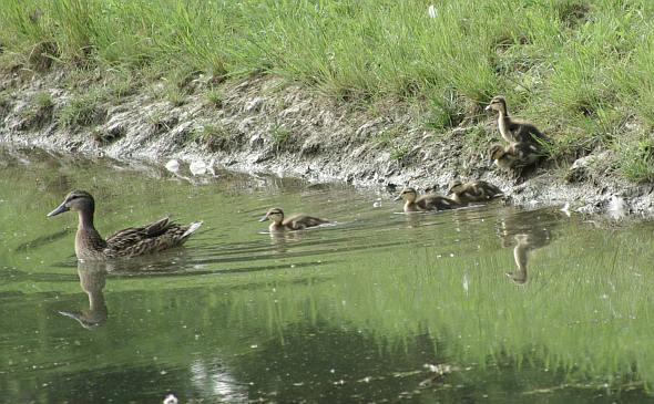 Divlja patka i pačići