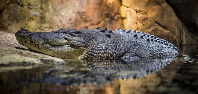 Krokodil najzanimljiviji gmaz