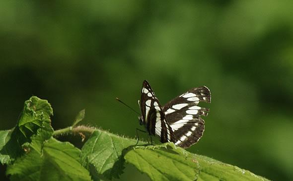 Mala zebra