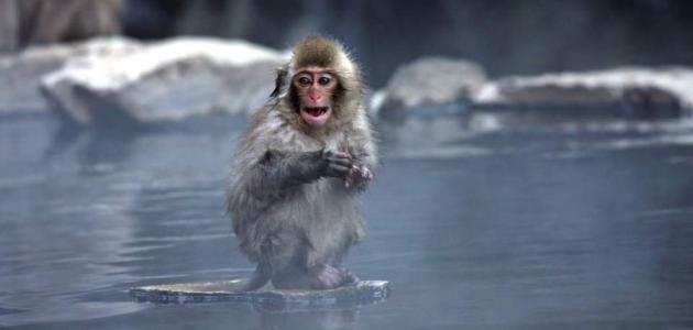 Snježni majmuni