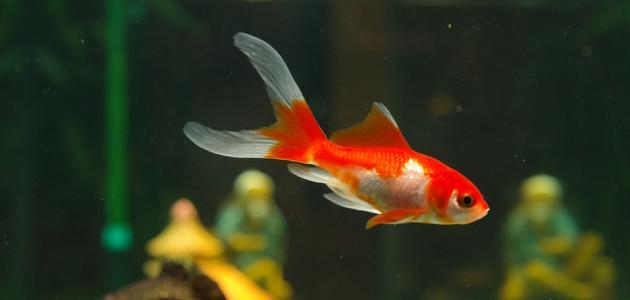 Pamćenje zlatne ribice traje tri sekunde
