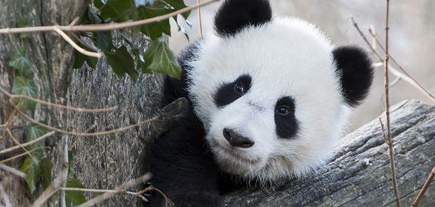 Blizanci pande iz bečkog zoološkog