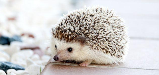 Jež u proljeće: što ako naiđete na maloga ježa bez mame