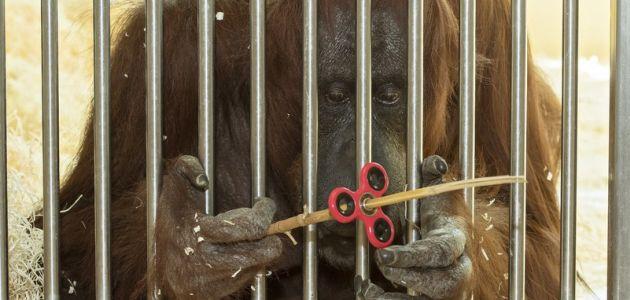 I orangutanica Nonja iz bečkog zoološkog vrta otkrila spinner