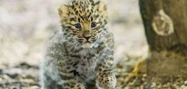 Prvi mladunci amurskog leoparda u bečkom zoološkom vrtu