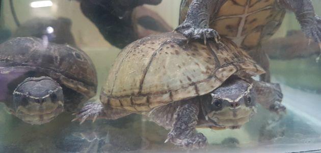 Mošusna kornjača – mirišljava mesožderka