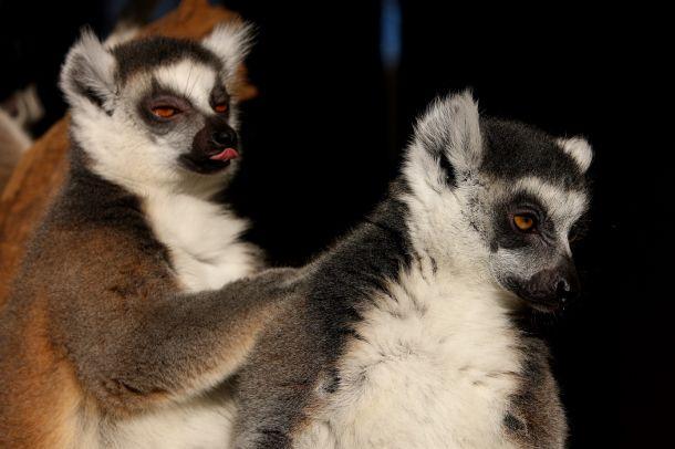 prstenorepi-lemuri