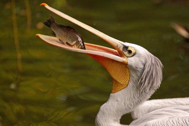 dalmatinski-pelikan-1