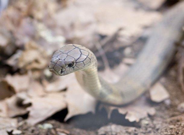 kraljevska-kobra
