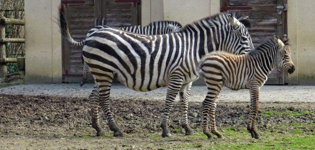 Mladunče zebre došlo je na svijet u Zoo Zagreb