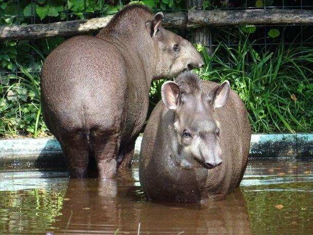 zoo-tapiri