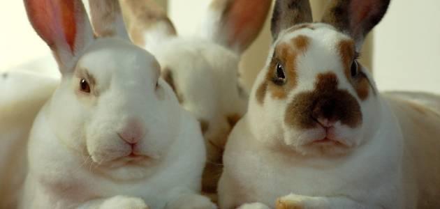 Kunić kao kućni ljubimac