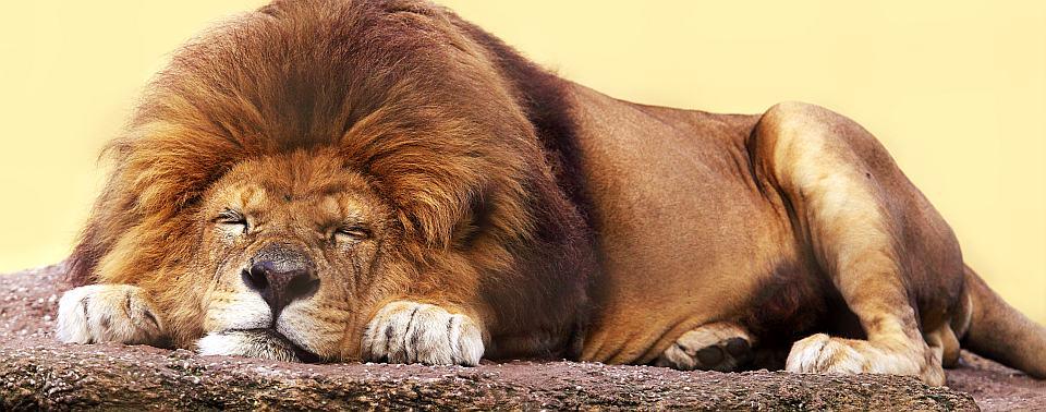Koliko znamo o lavovima tim kraljevima divljina
