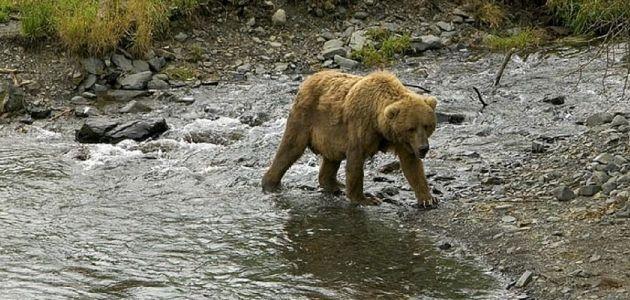 Sedam razlika između mrkog medvjeda i grizlija