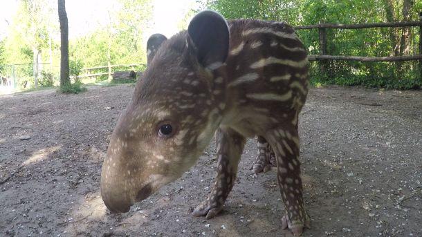 Predložite ime bebi tapira