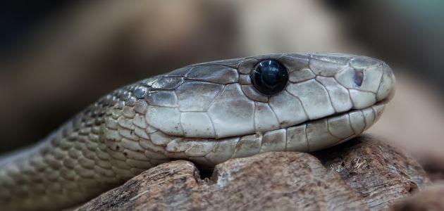 Pogledajte što zmijski otrov čini ljudskoj krvi!