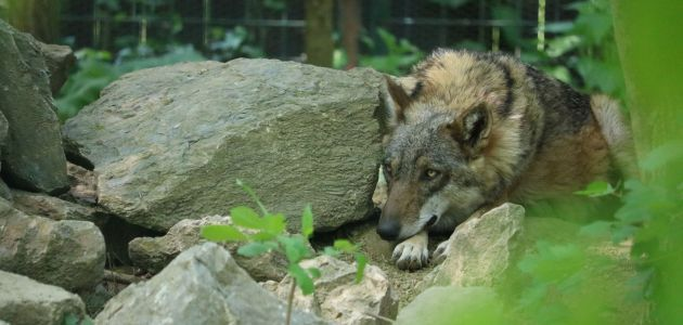 Povećao se maksimirski čopor vukova