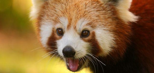 Subota u Zoo – Dan crvenih pandi