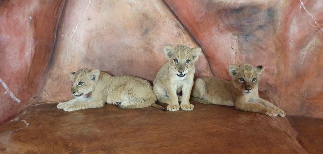 Tri kćeri zagrebačkog lava Tume