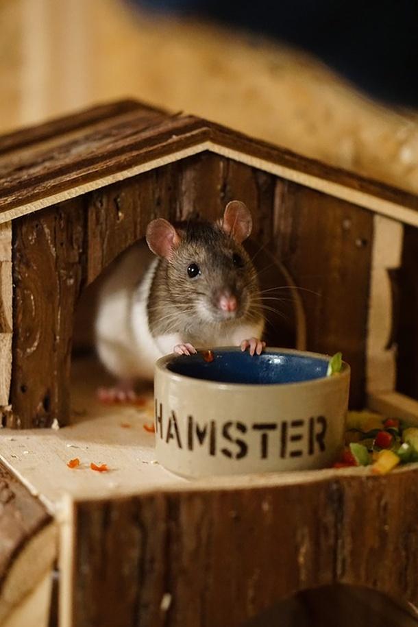 kucni ljubimac -miš