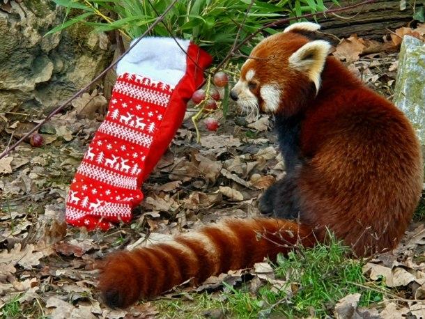 zoo-crvena-panda