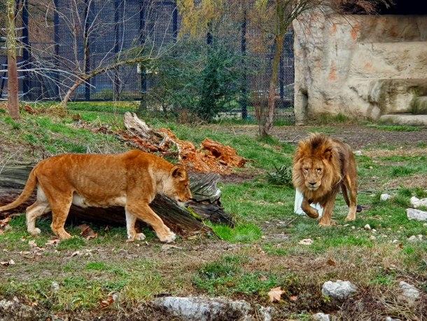 zoo-lavovi
