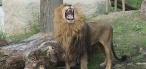 zoo-africki-lav