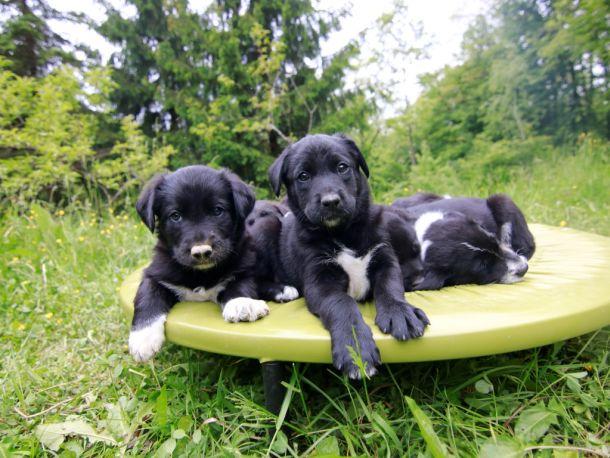 stenci mali psi