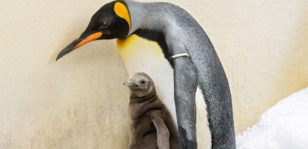 Pogledajte malog kraljevskog pingvina koji je upravo stigao na svijet